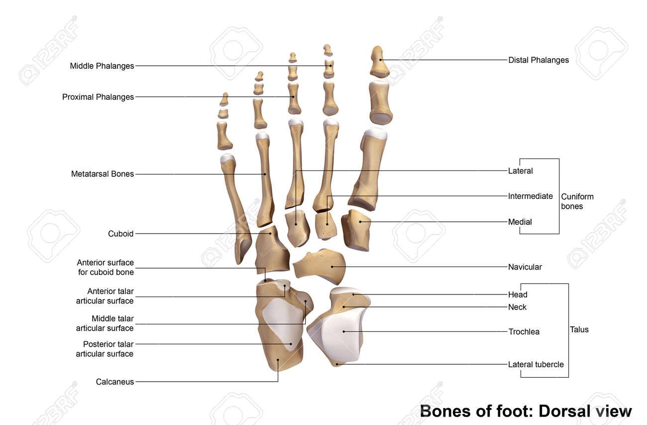 Feet Bones Diagram Dorsal View Block And Schematic Diagrams