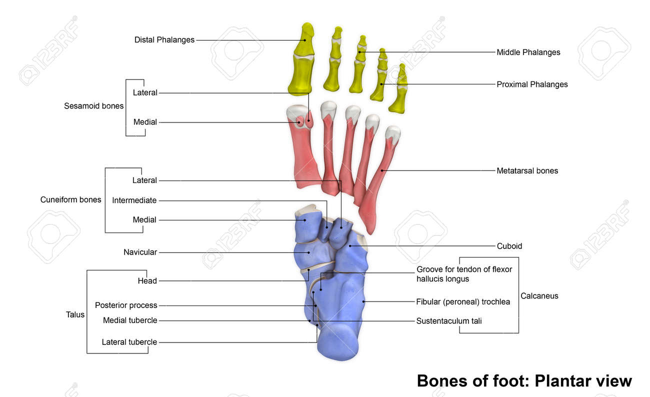 foot bones planter view stock photo, picture and royalty free, Human Body