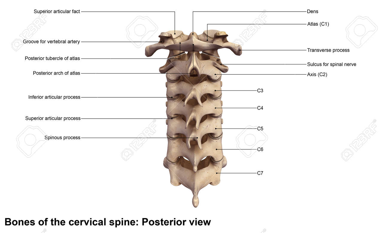Cervical Spine Posterior View Stock Photo, Picture And Royalty Free ...
