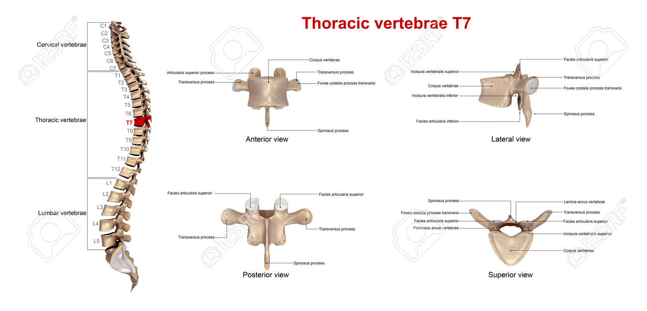 Thoracic Vertebrae T7 Stock Photo Picture And Royalty Free Image