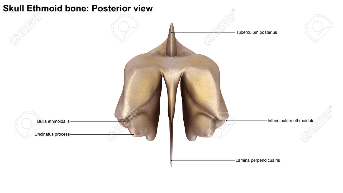 Ethmoid Bone Posterior View Stock Photo, Picture And Royalty Free ...