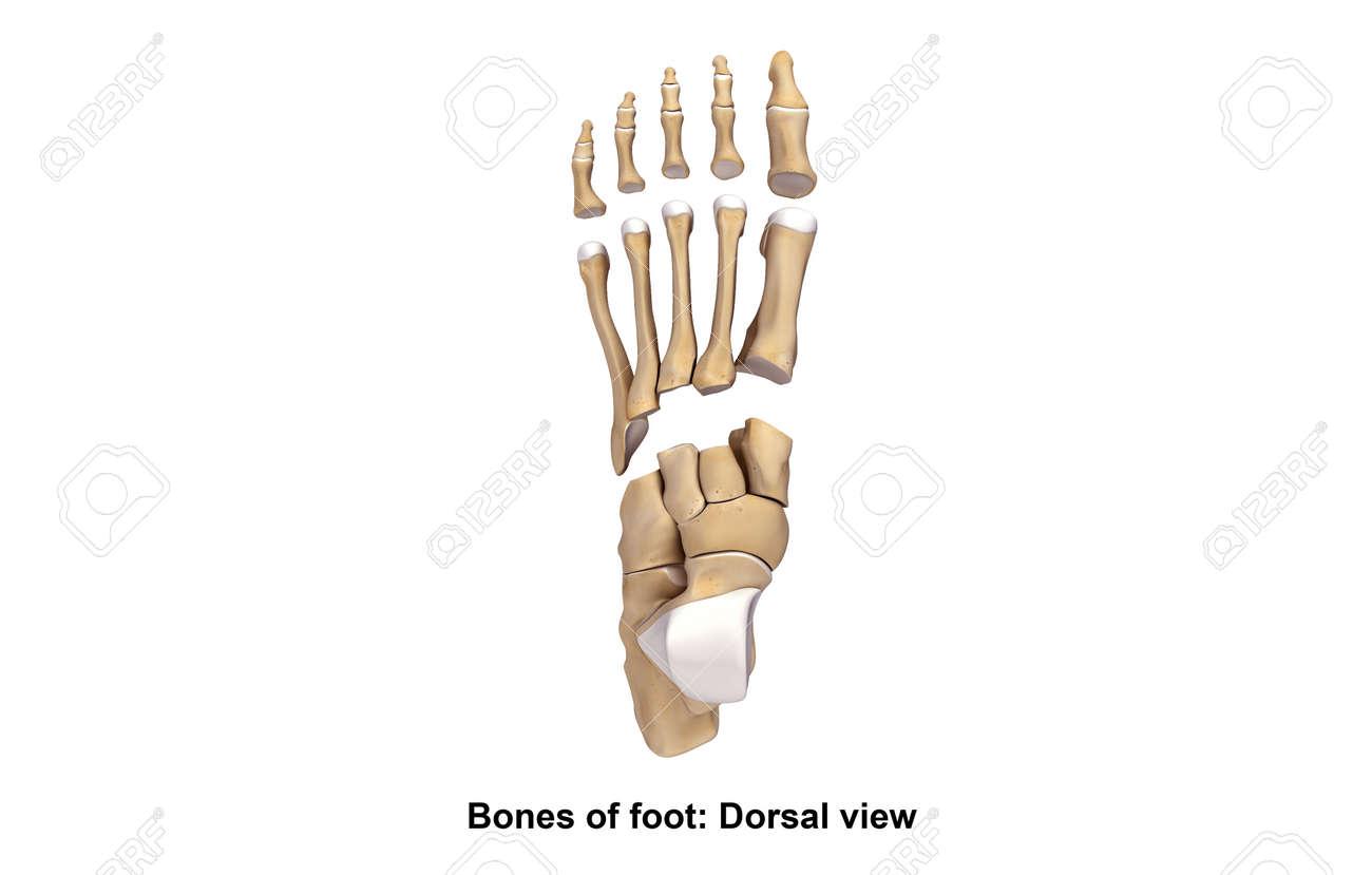 Fuß-Knochen Dorsalansicht Lizenzfreie Fotos, Bilder Und Stock ...