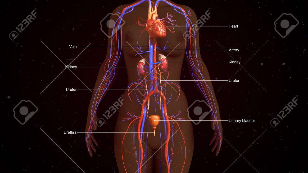 Human Excretory System Stock Photo Picture And Royalty Free Image