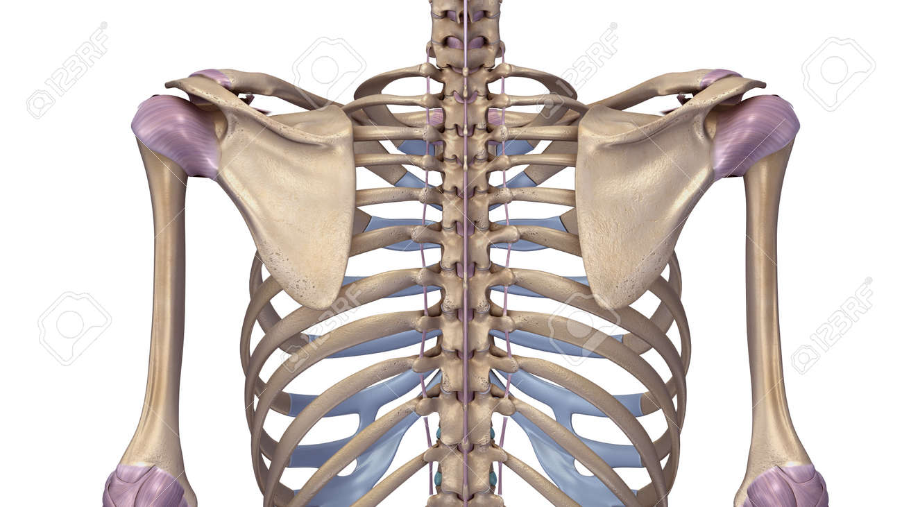 Skeleton with ligaments - 68297877