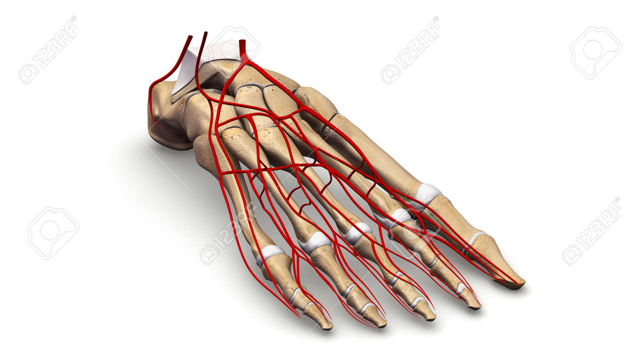 Foot Bones With Arteries Prespective View Stock Photo Picture And