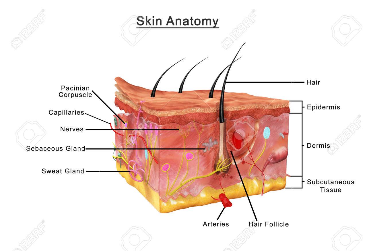 Nose Skin Anatomy Diagram - Illustration Of Wiring Diagram •