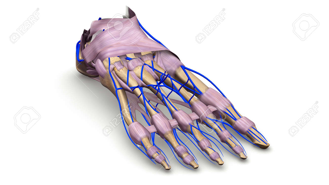 Foot Bones With Ligaments And Veins Prespective View Stock Photo ...