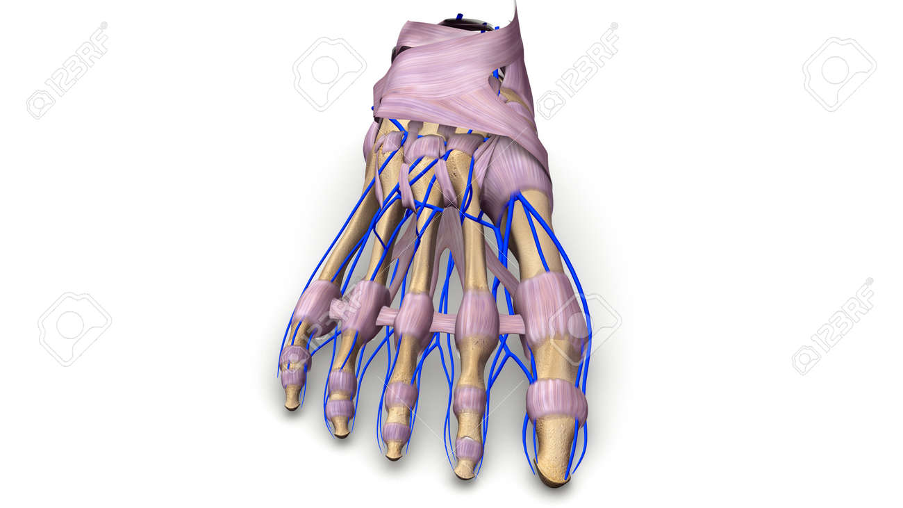 Foot Bones With Ligaments And Veins Anterior View Stock Photo