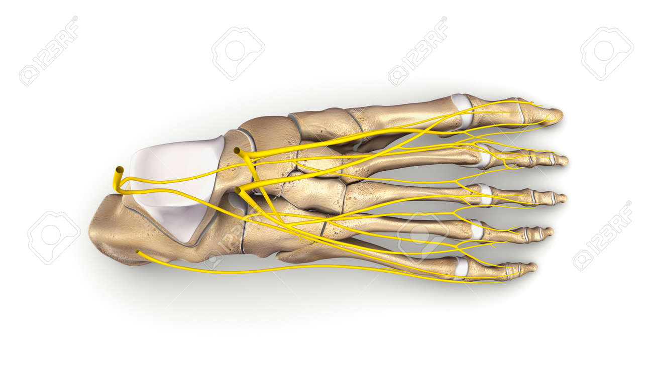Foot Bones With Nerves Top View Stock Photo, Picture And Royalty ...