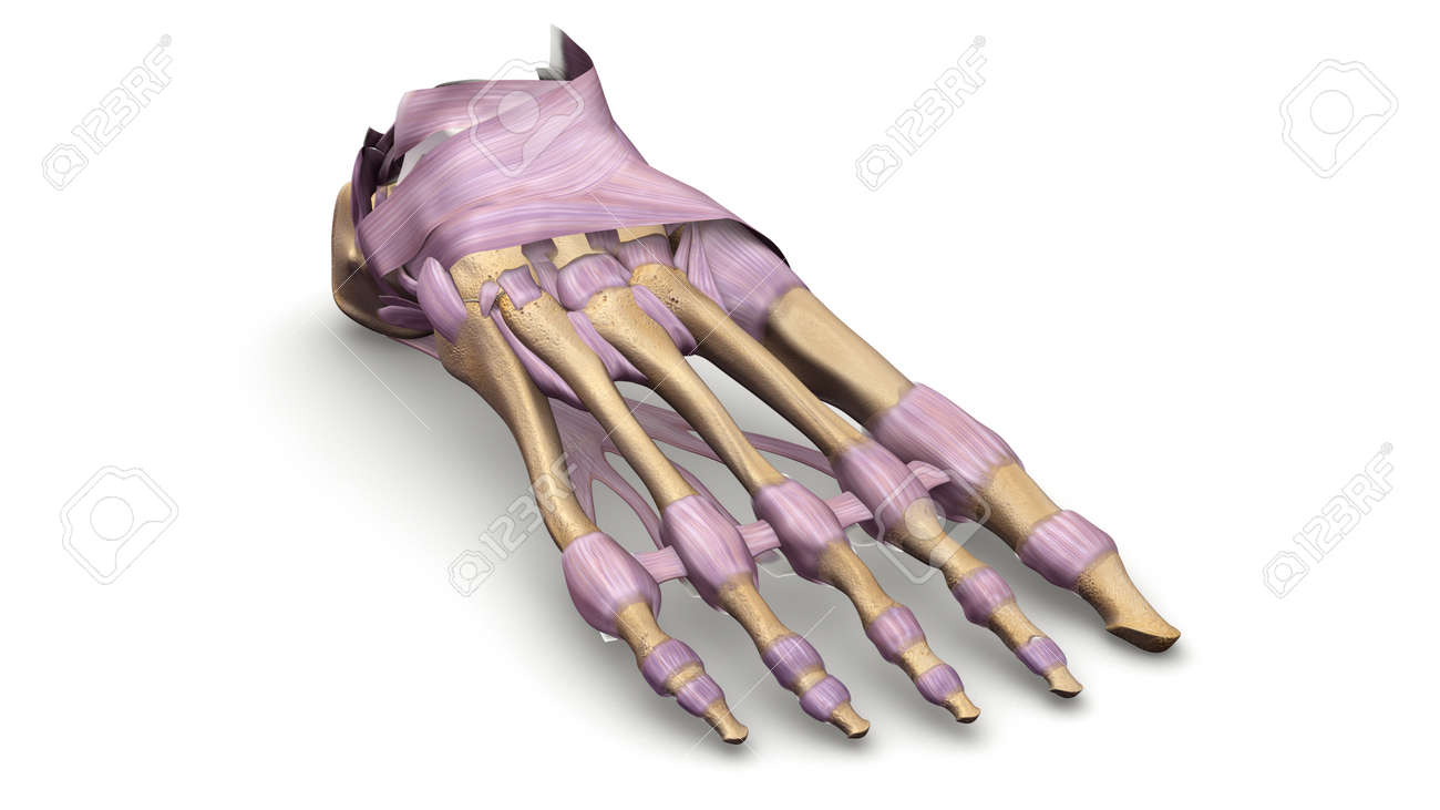 Foot Bones With Ligaments Prespective View Stock Photo Picture And