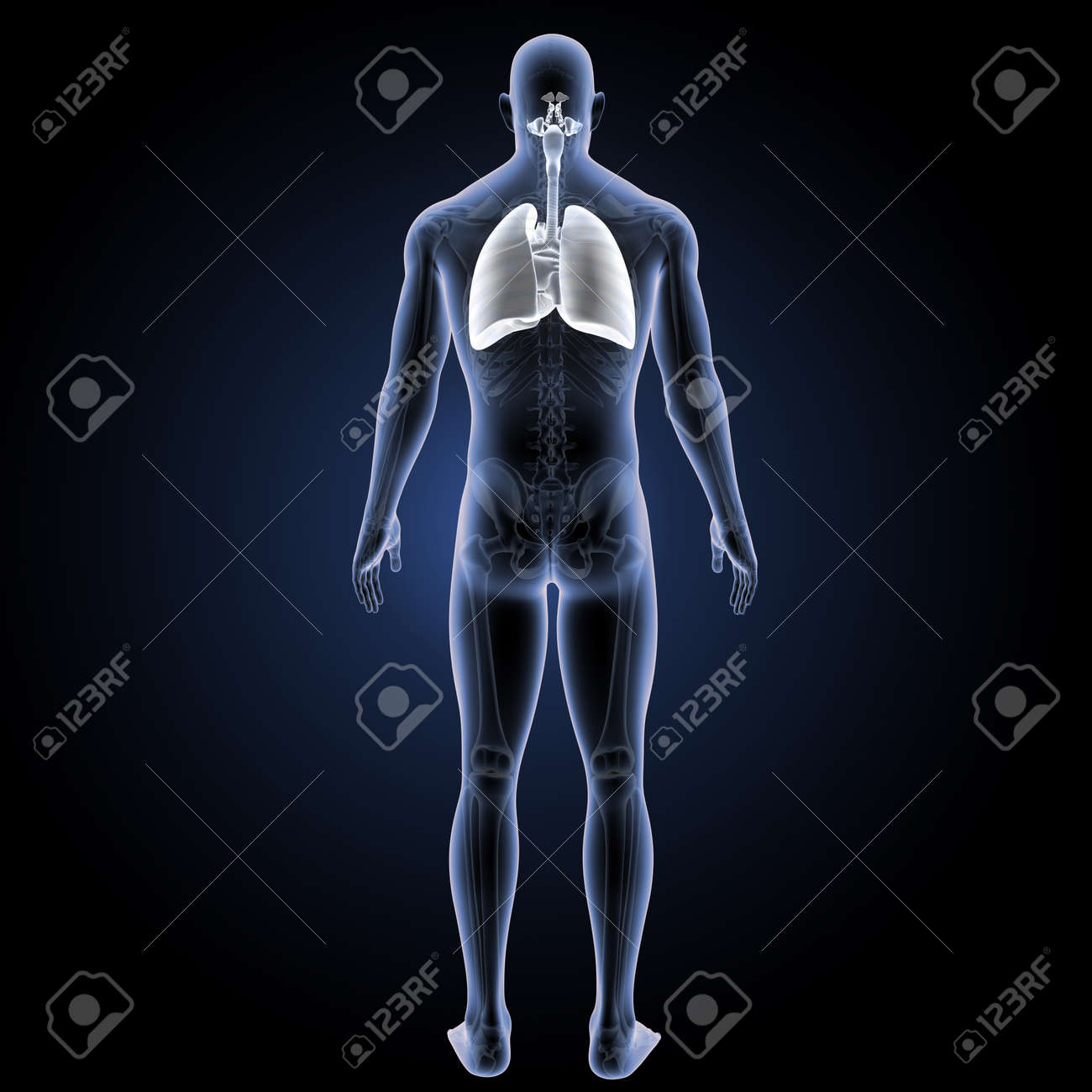 Menschliches Atmungssystem Mit Herzrückansicht Lizenzfreie Fotos ...