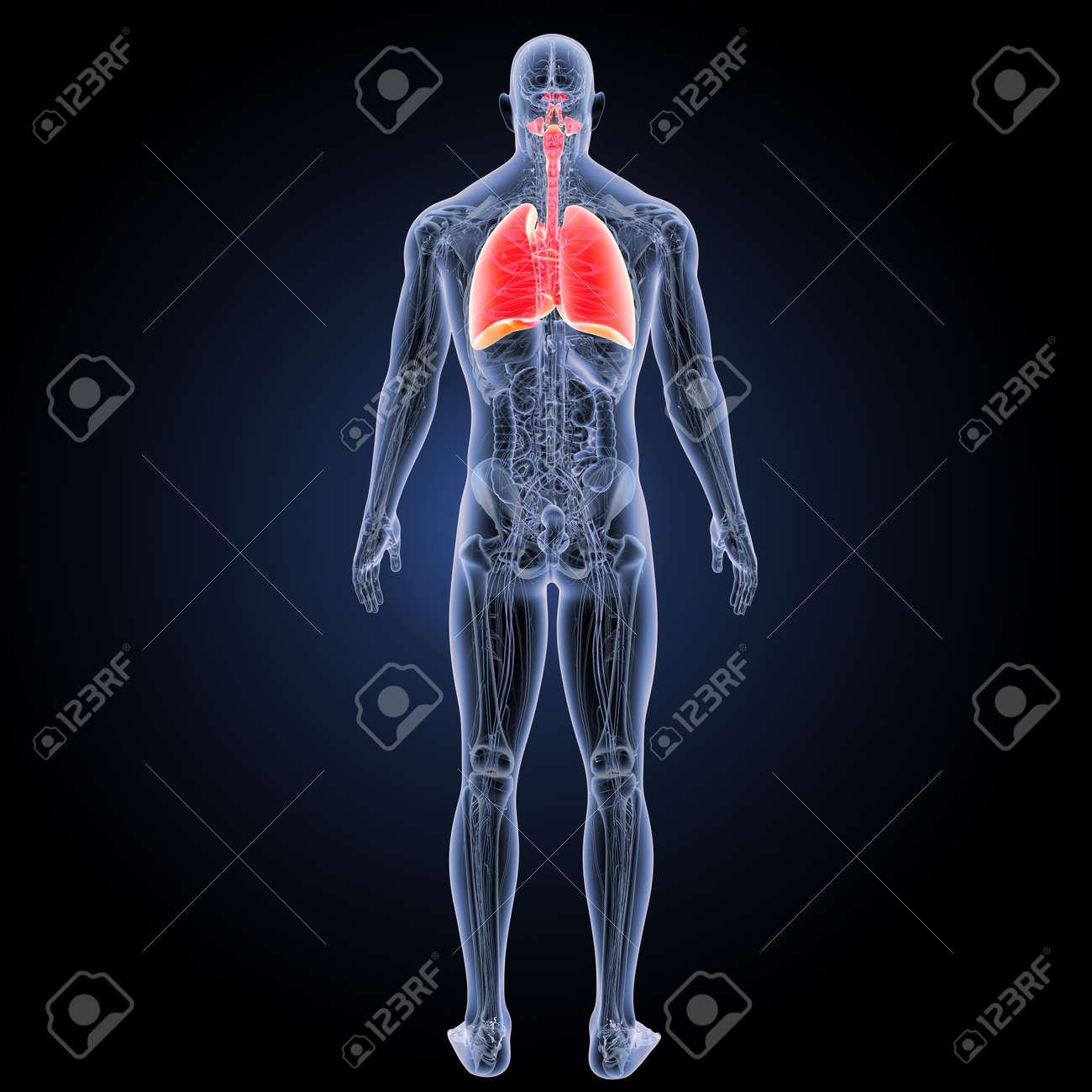 Fantástico Superiores Anatomía Imágenes Traseras Galería - Imágenes ...