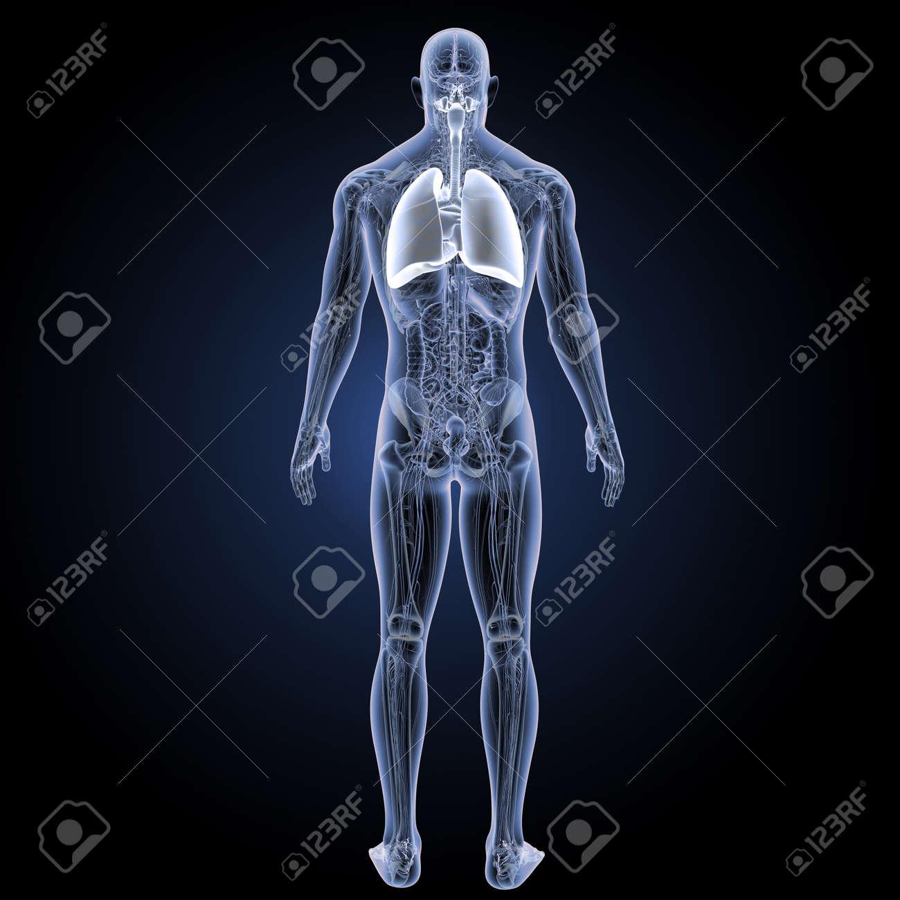 Sistema Respiratorio Humano Con Anatomía Vista Posterior Fotos ...