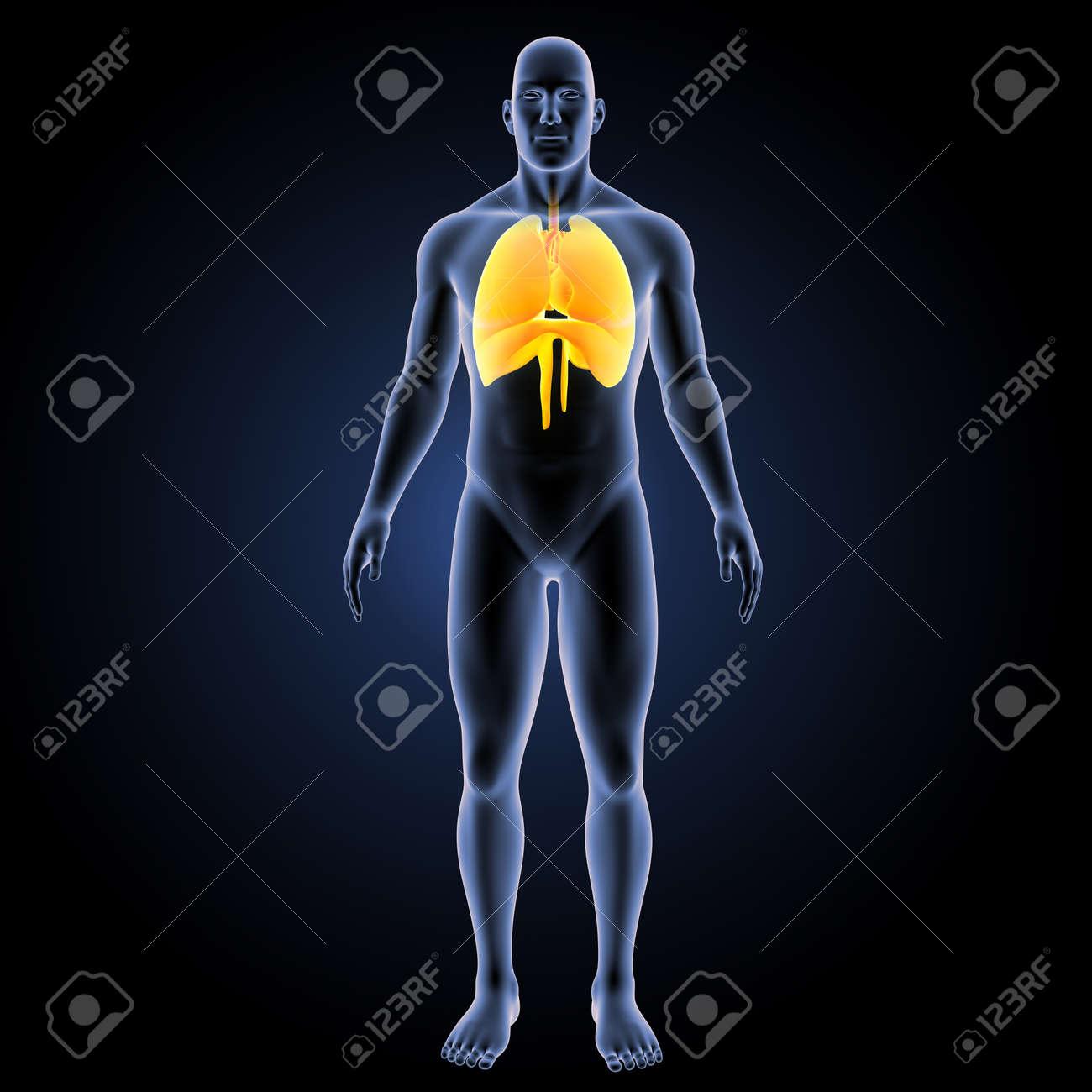 Pulmones Del Corazón Humano Con Diafragma Con Vista Anterior Del ...