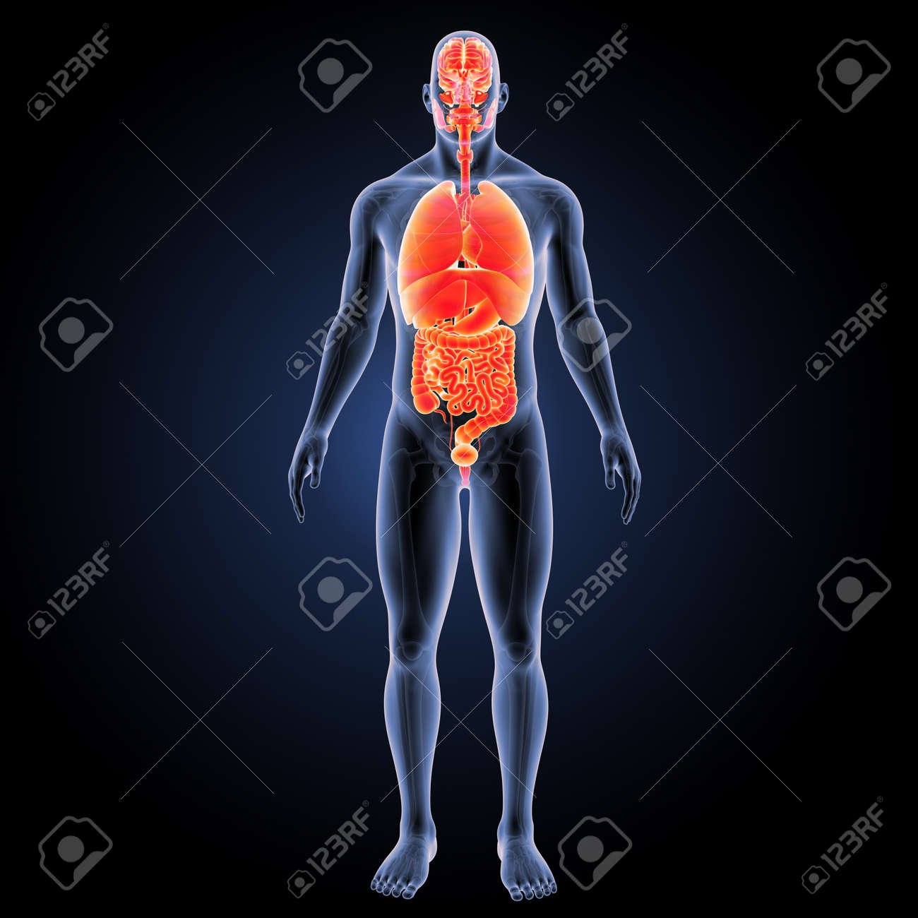 Human Organs With Skeleton Anterior View Stock Photo, Picture And ...
