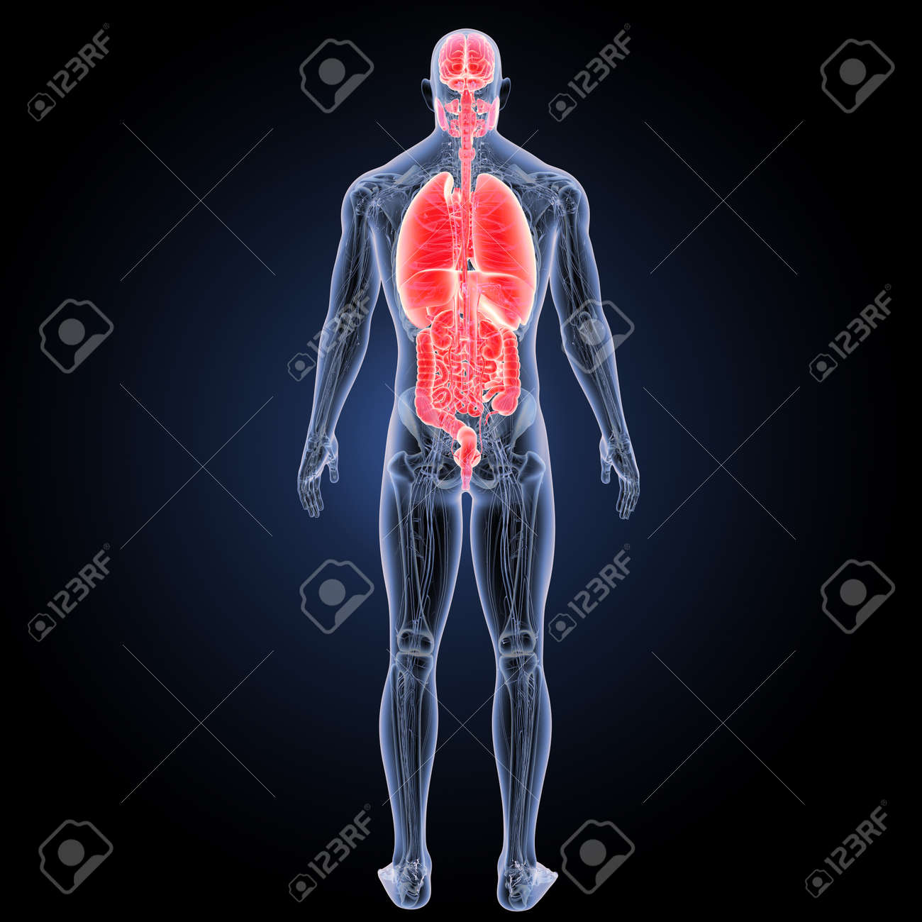 Human Organs With Anatomy Posterior View Stock Photo Picture And