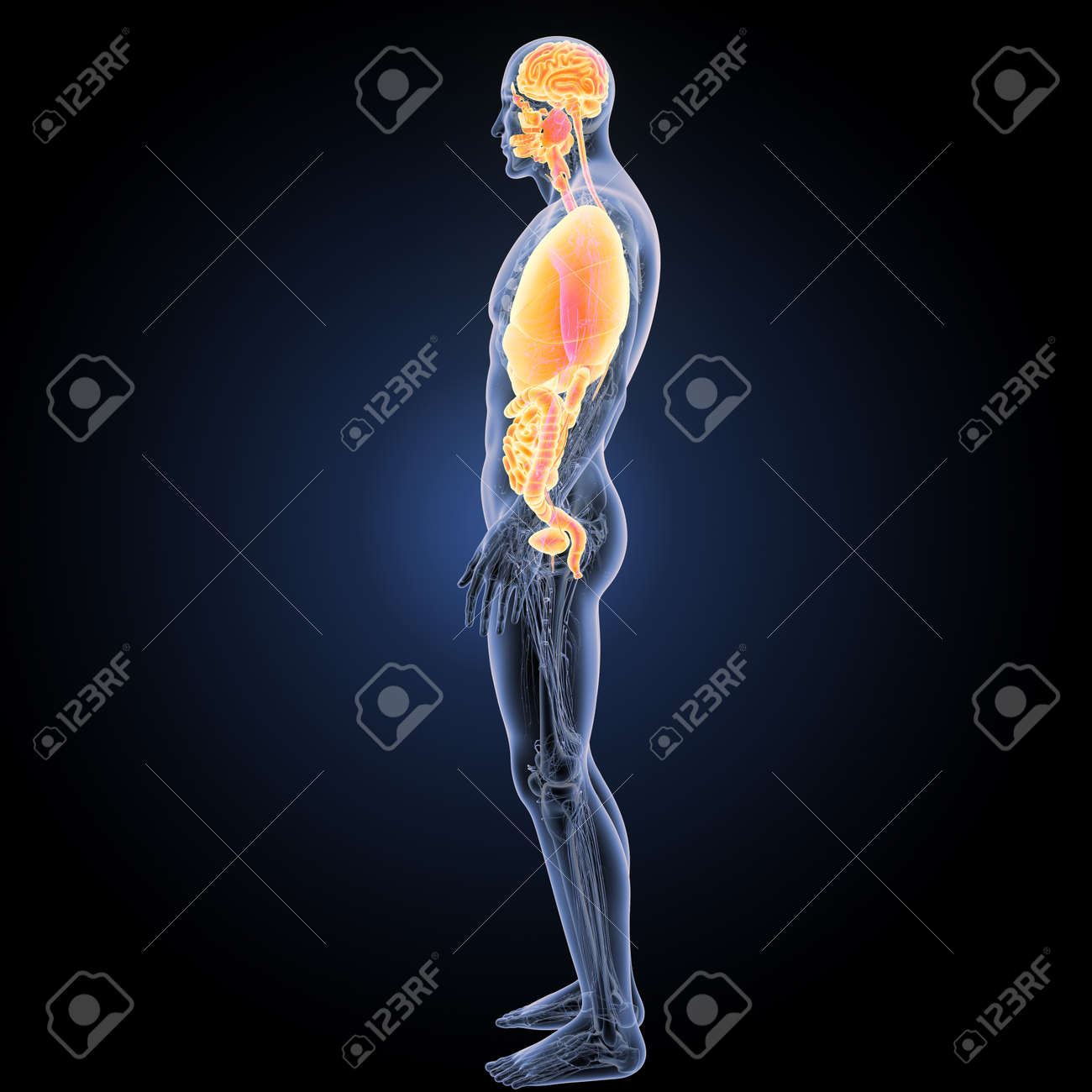 Human Organs With Anatomy Lateral View Stock Photo Picture And