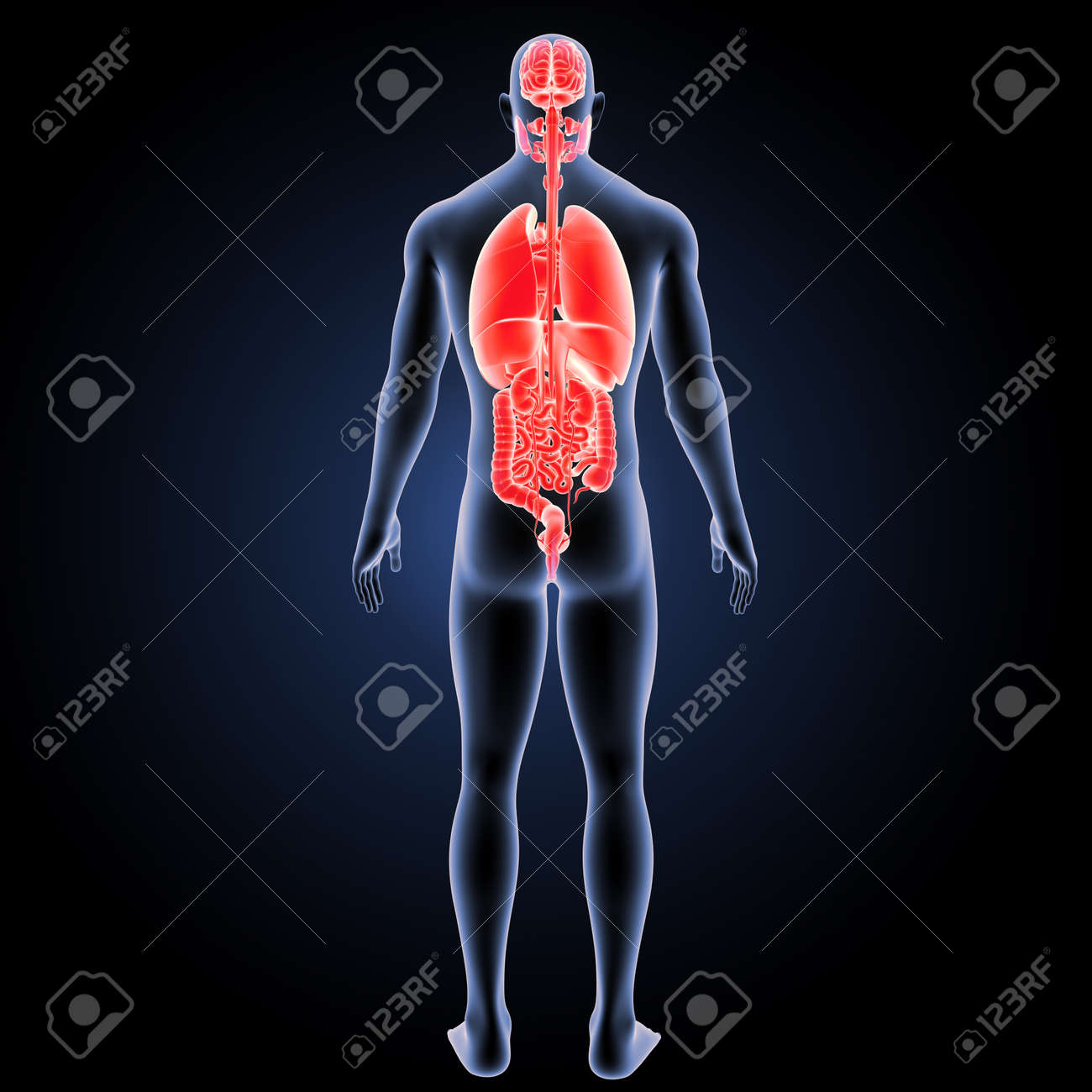 Human Organs With Body Posterior View Stock Photo, Picture And ...