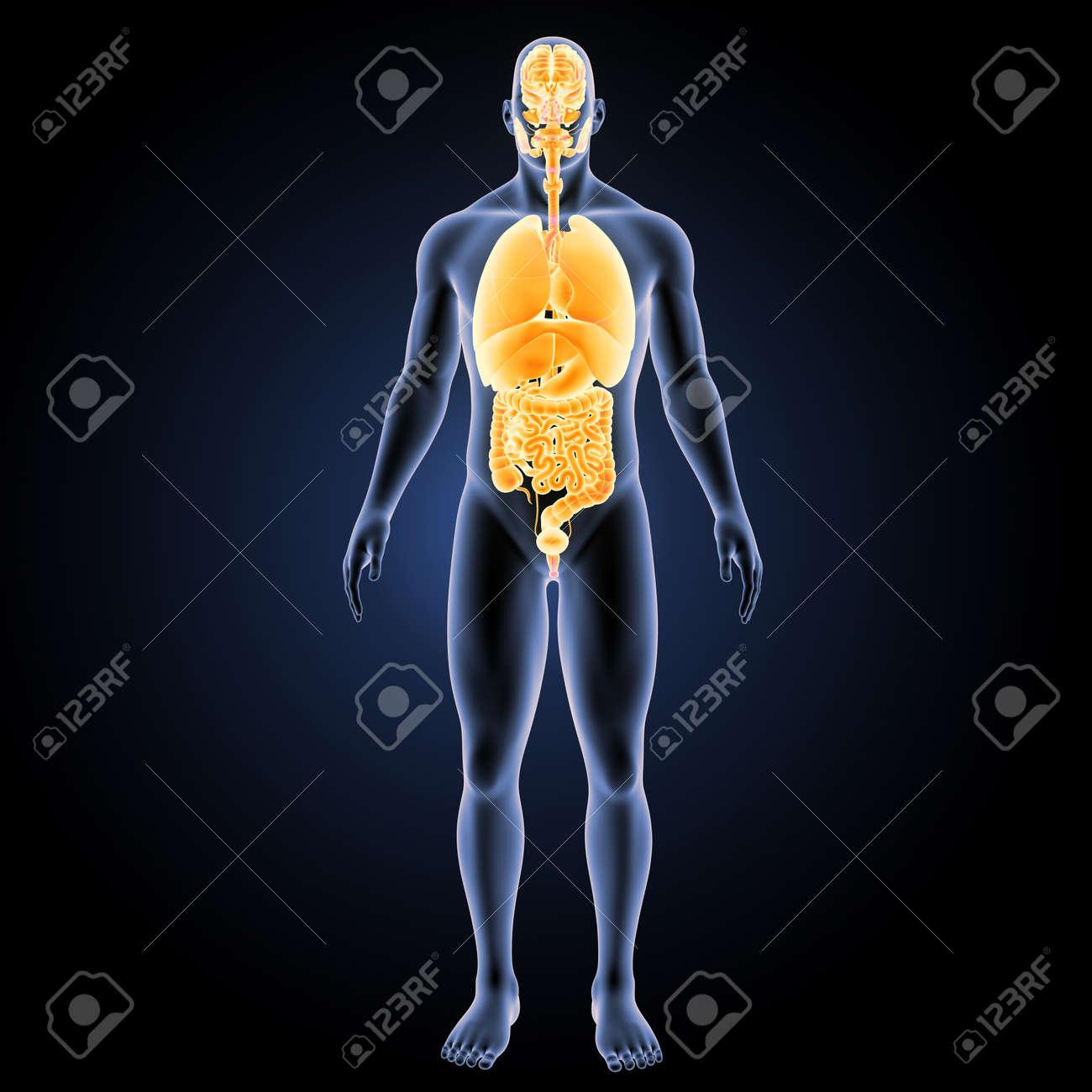 Menschliche Organe Mit Körper Vorderansicht Lizenzfreie Fotos ...