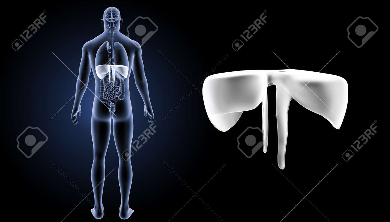 Human Diaphragm Zoom With Organs Posterior View Stock Photo Picture