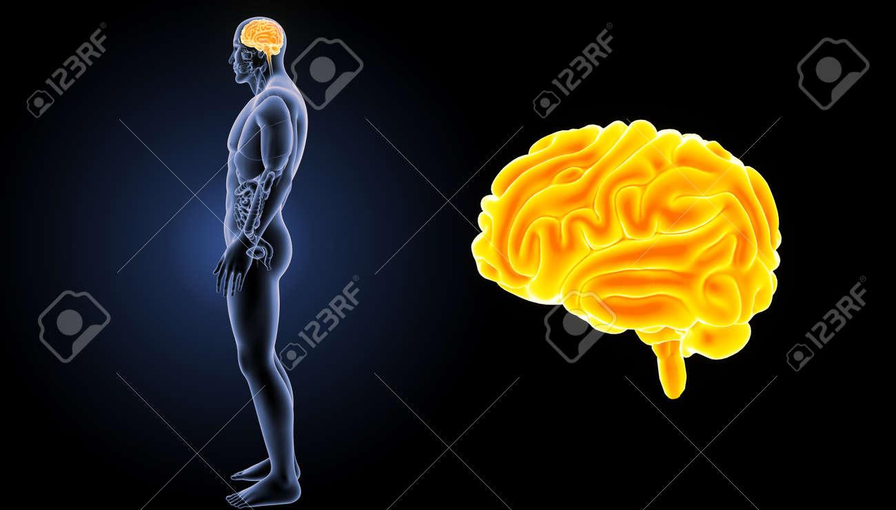Zoom De Cerebro Humano Con Vista Lateral De órganos Fotos, Retratos ...