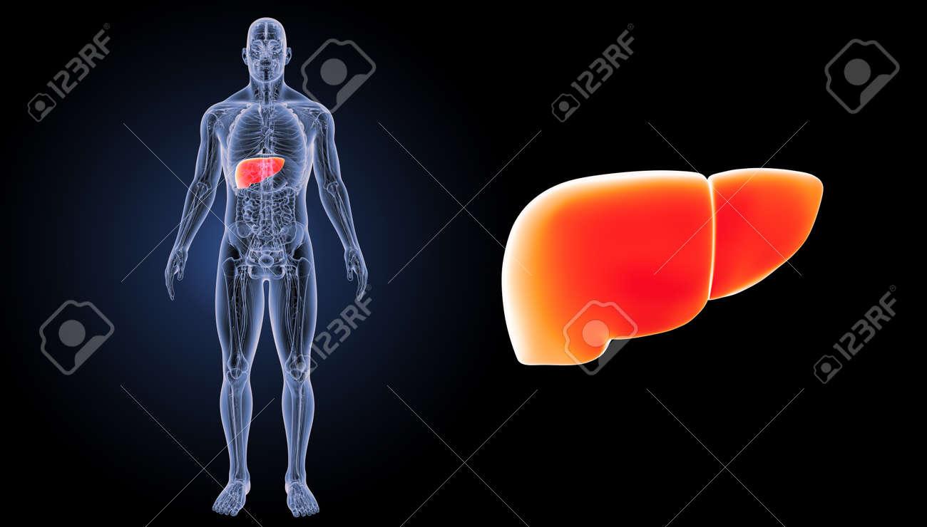 Zoom Del Hígado Humano Con Vista Anterior De La Anatomía Fotos ...