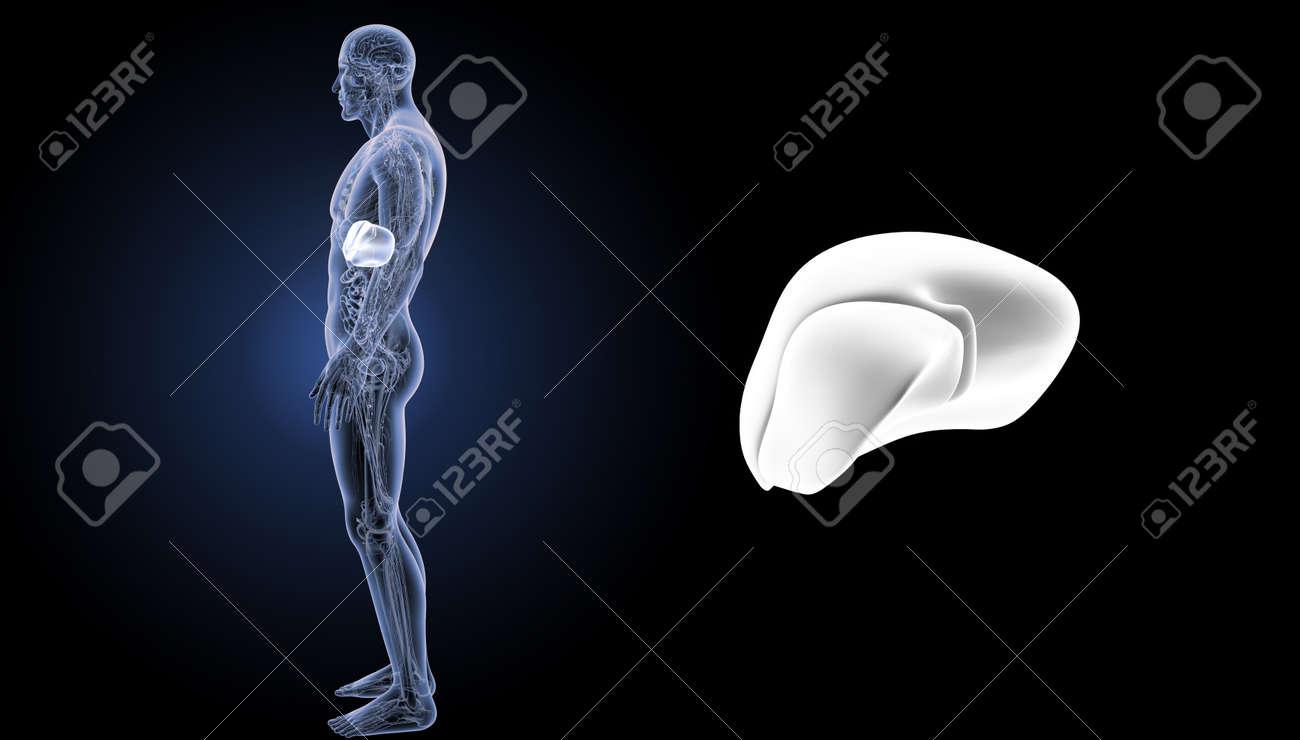Zoom De Hígado Humano Con Vista Lateral De Anatomía Fotos, Retratos ...