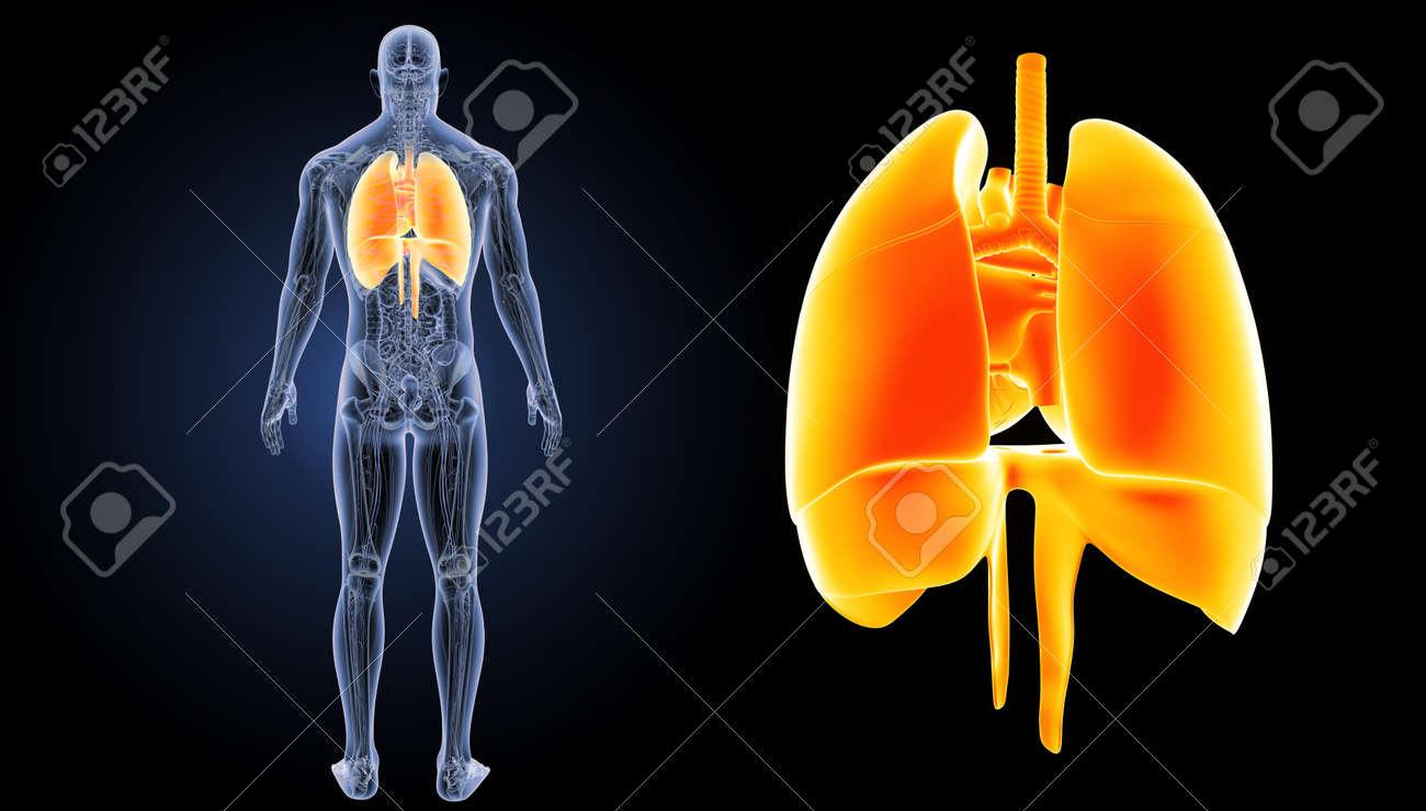Corazón Humano Pulmones Con Diafragma Zoom Con Anatomía Vista ...