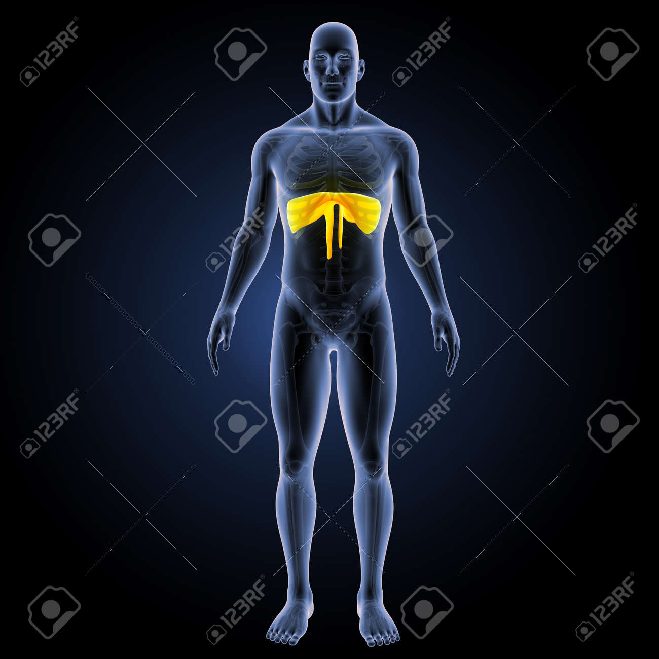 Diaphragm Anterior View Stock Photo, Picture And Royalty Free Image ...