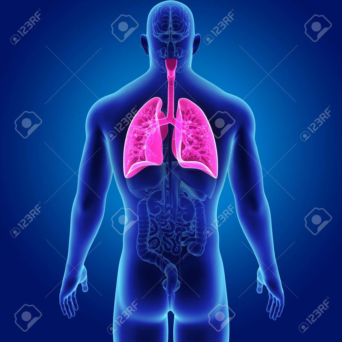 Moderno Vista Frontal De órganos Humanos Molde - Anatomía de Las ...