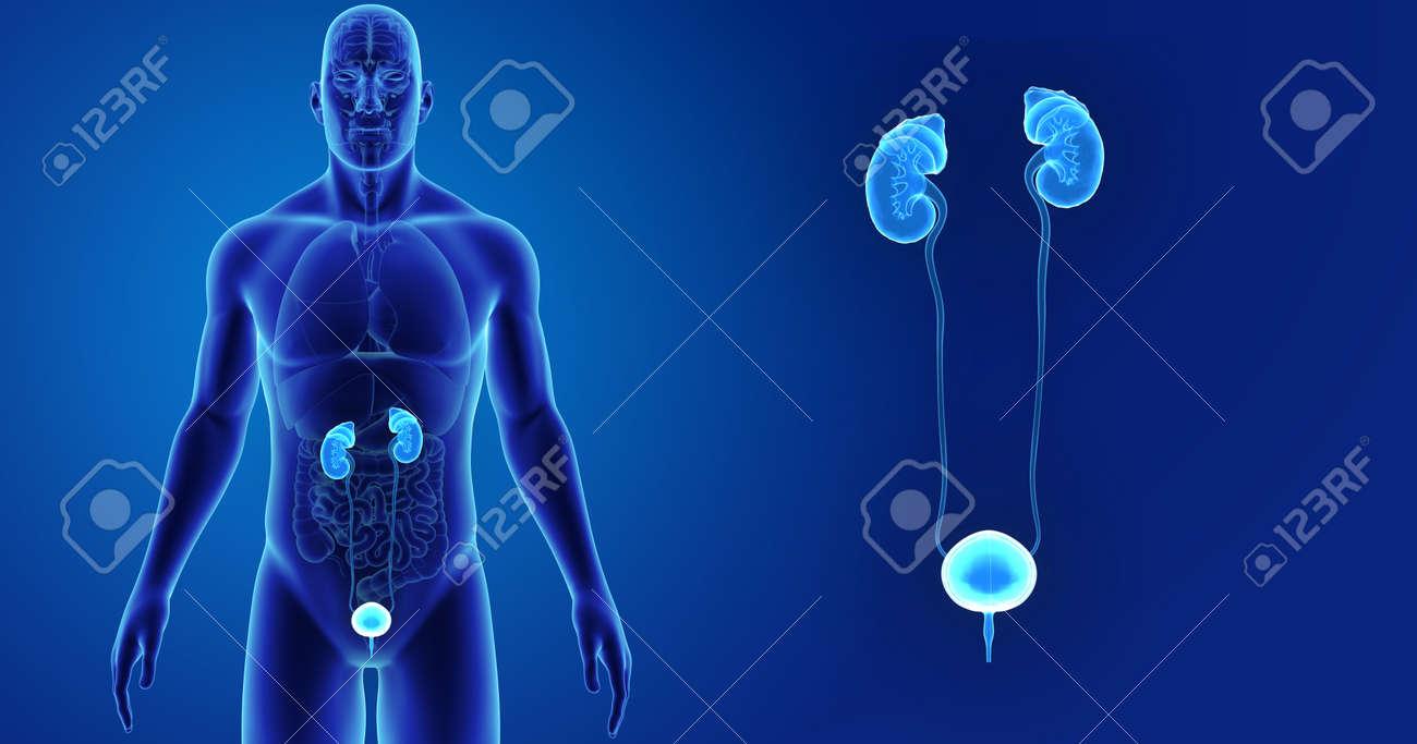 Sistema Urinario Humano Zoom Con órganos Vista Anterior Fotos ...