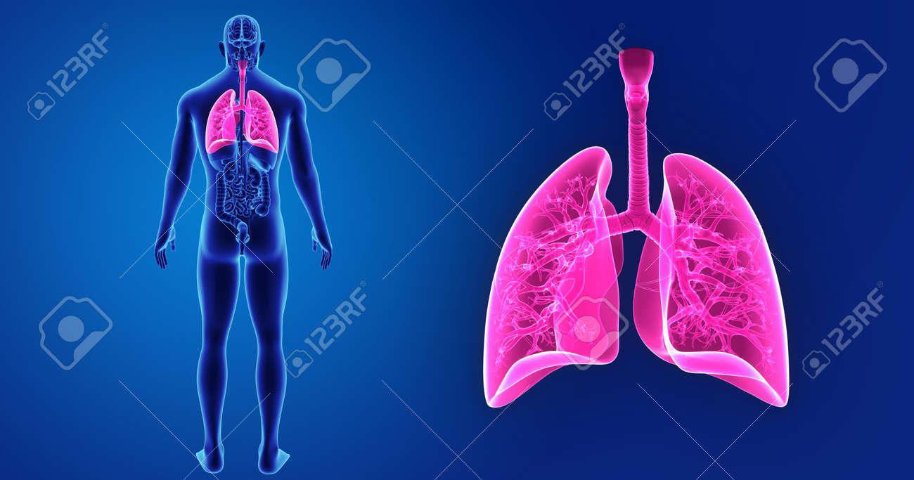 Pulmones Zoom Con órganos Vista Posterior Fotos, Retratos, Imágenes ...