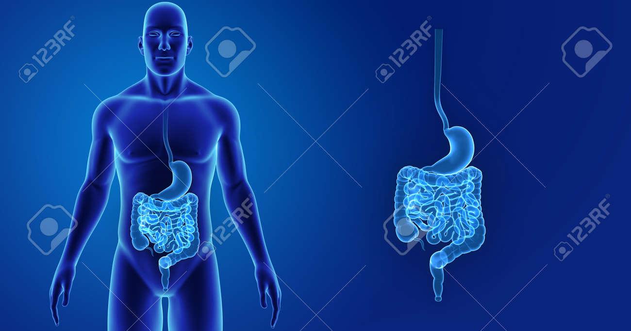 Estómago Humano E Intestino Zoom Con Vista Anterior Del Cuerpo Fotos ...