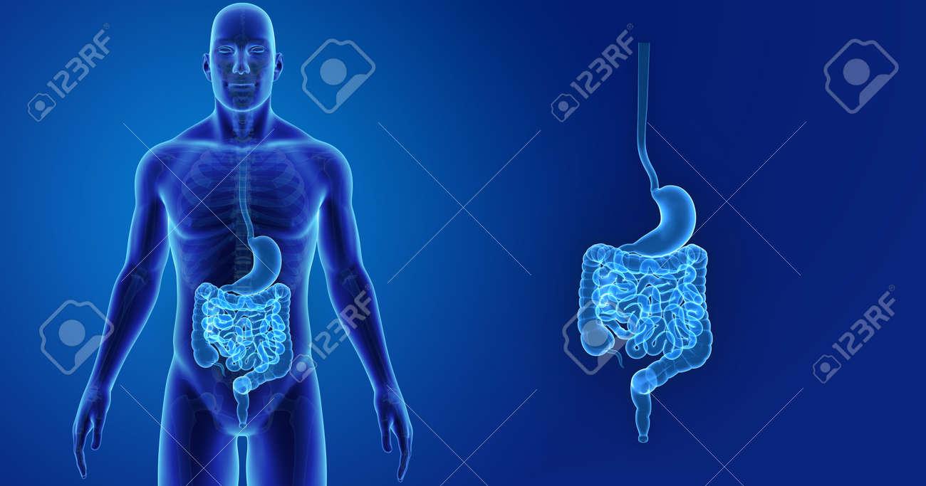 Ungewöhnlich Menschliche Magen Darm Anatomie Fotos - Menschliche ...