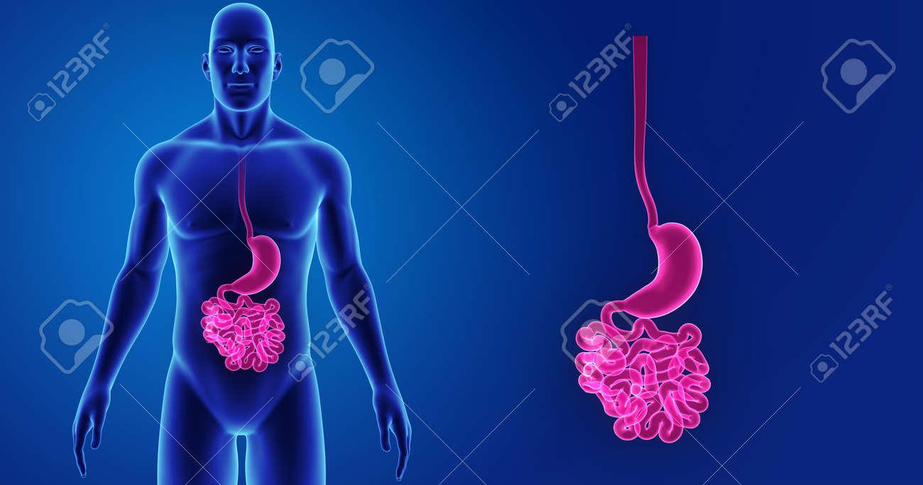 Estómago Humano E Intestino Delgado Zoom Con Vista Anterior Del ...