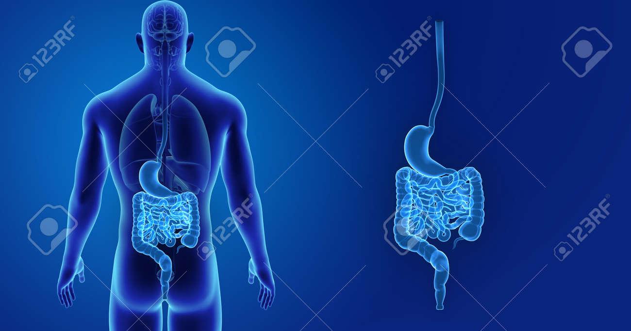 Menschlicher Magen Und Darm Zoom Mit Organrückansicht Lizenzfreie ...