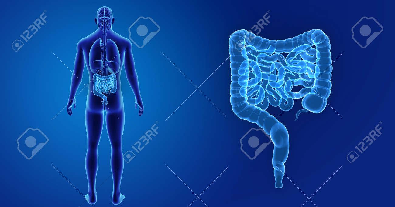 Lujo órgano Anatomía Vista Posterior Friso - Anatomía de Las ...