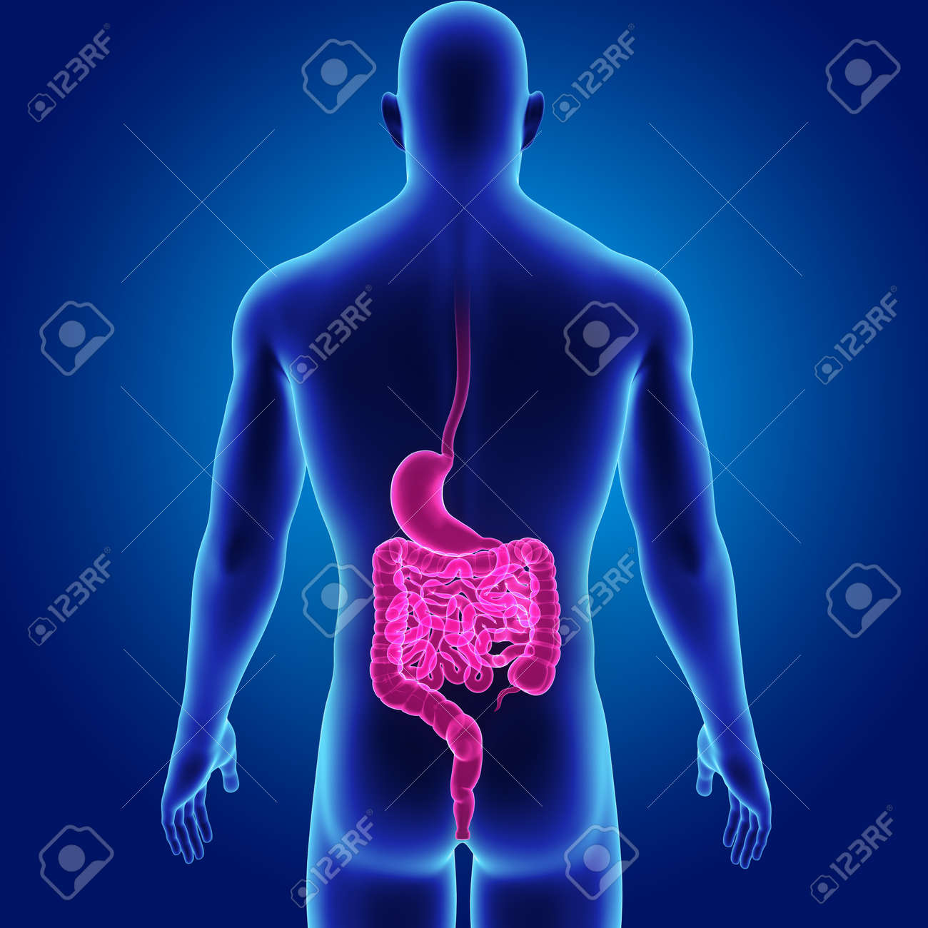 Menschlicher Magen Und Darm Mit Körperrückansicht Lizenzfreie Fotos ...