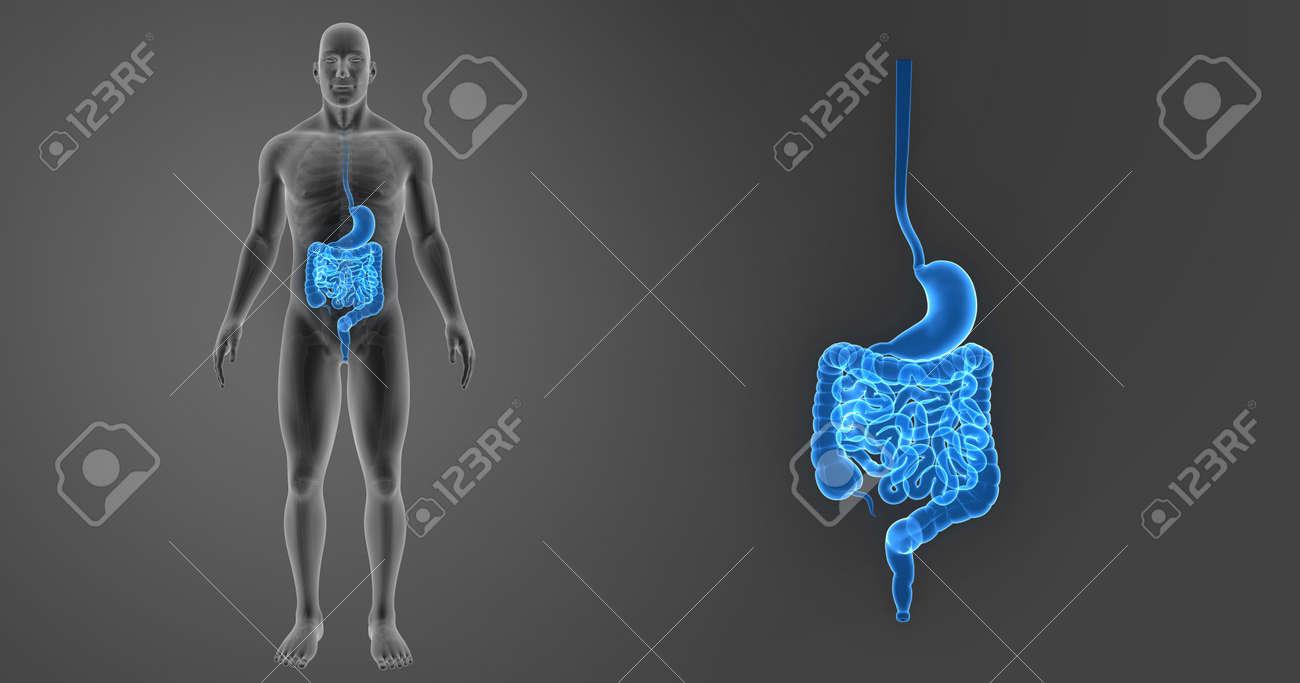 Estómago Humano E Intestino Zoom Con Esqueleto Vista Anterior Fotos ...