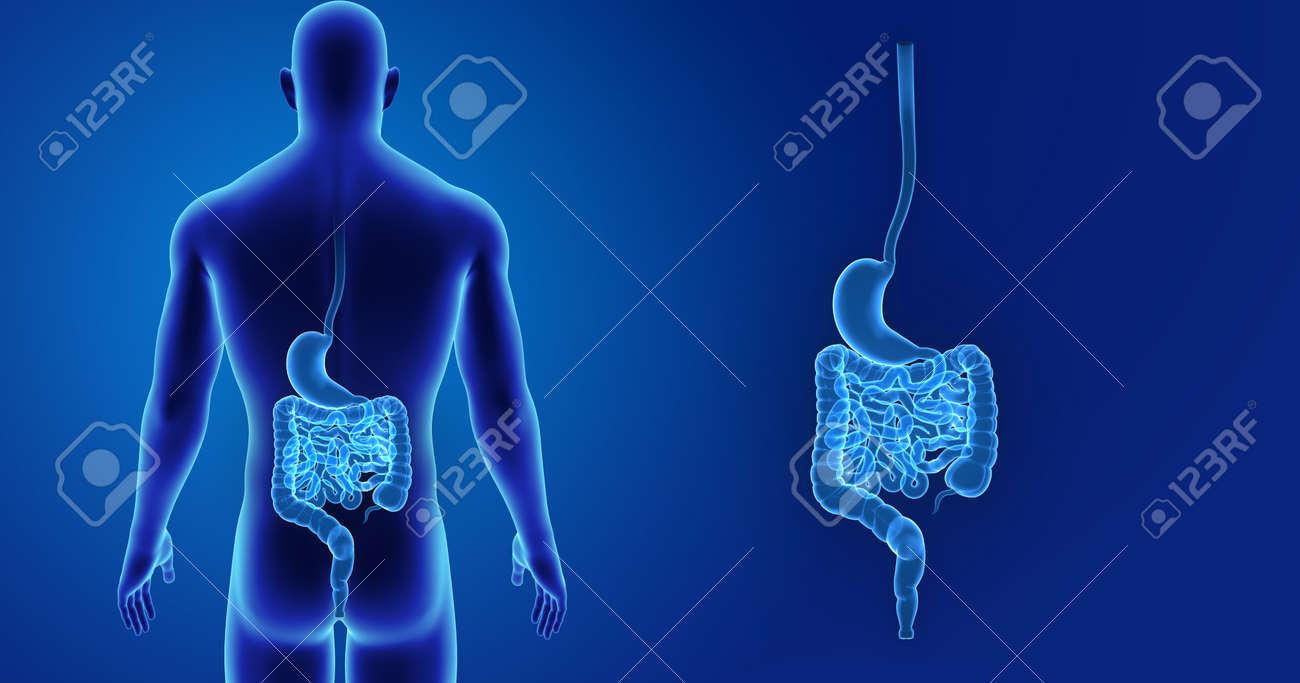 Zoom De Estómago E Intestino Humano Con Vista Posterior Del Cuerpo ...