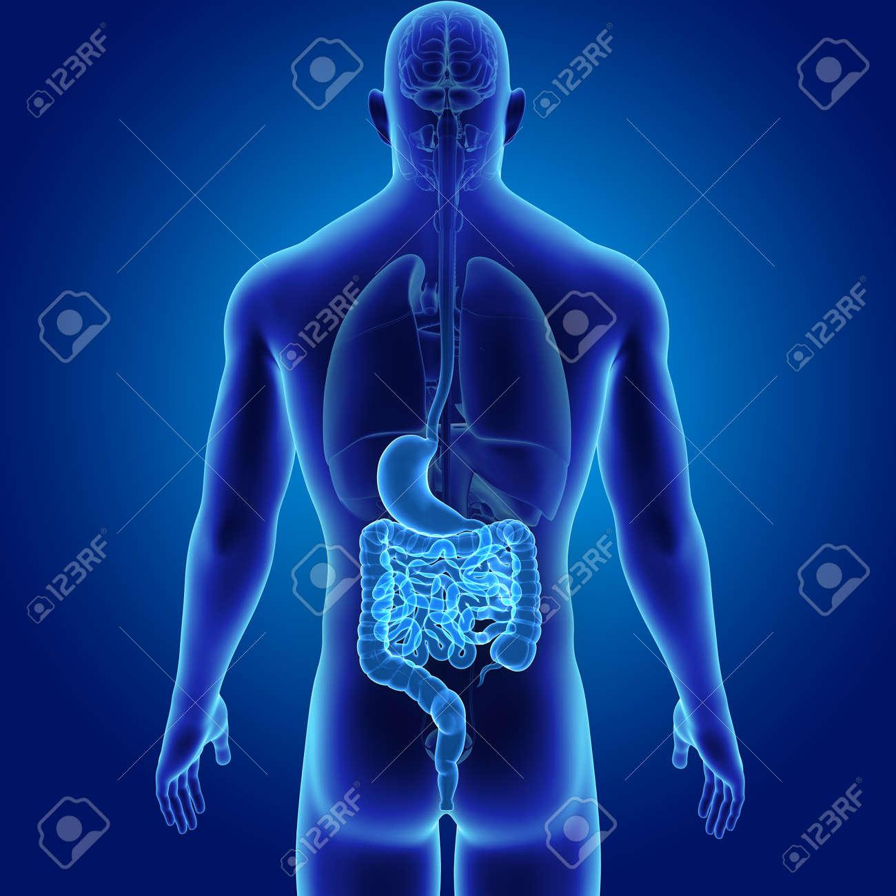 Estómago E Intestino Humano Con Vista Posterior De Los órganos ...