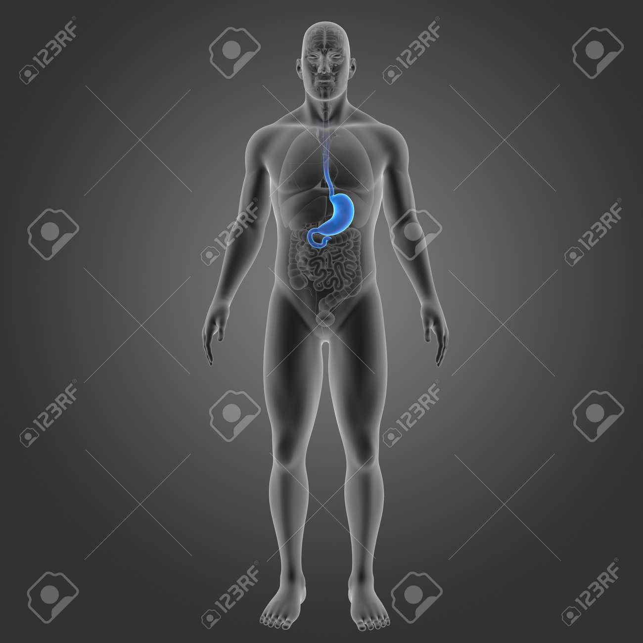 Estómago Humano Con órganos Vista Anterior Fotos, Retratos, Imágenes ...