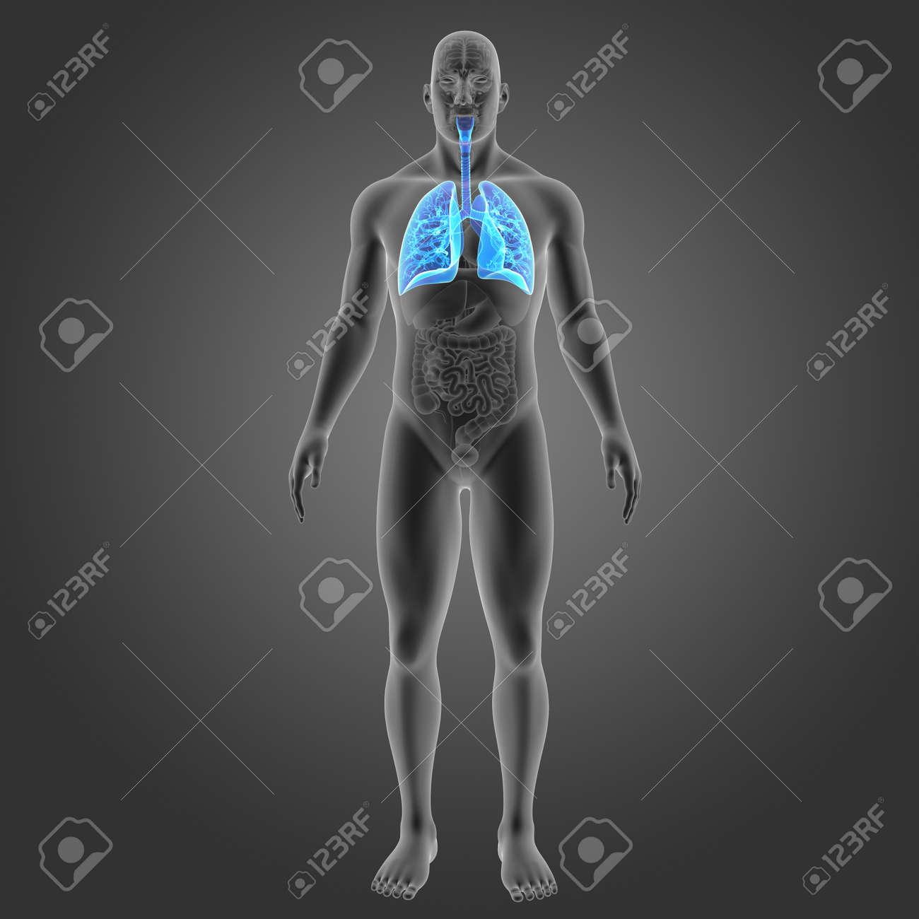 Excelente Diagrama De Los órganos En El Cuerpo Ornamento - Anatomía ...