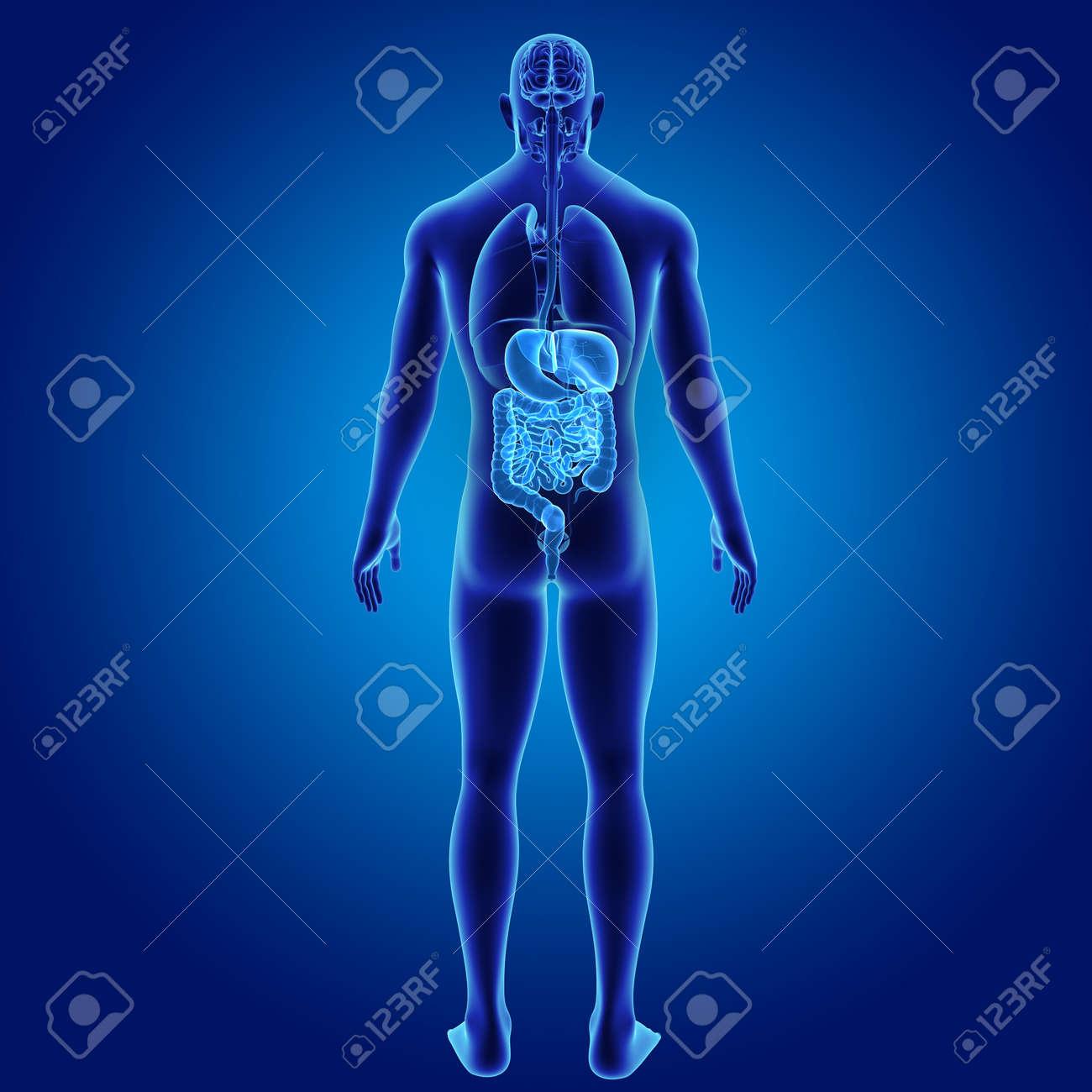 Sistema Digestivo Humano Con Vista Posterior De órganos. Fotos ...