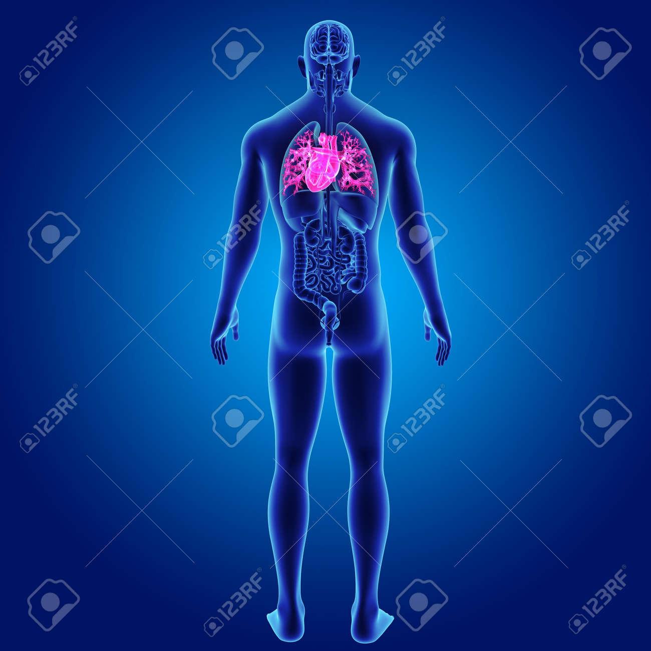 Corazón Humano Con órganos Vista Posterior Fotos, Retratos, Imágenes ...