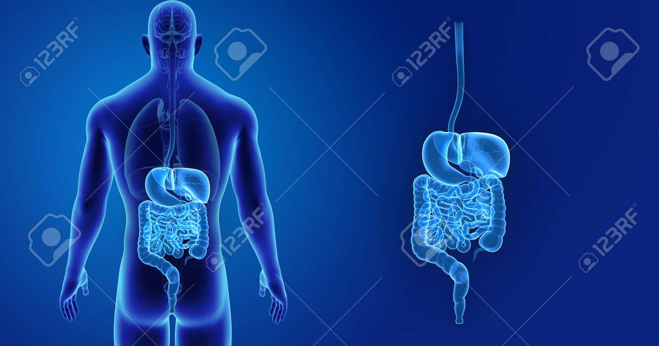 Sistema Digestivo Del Sistema Con órganos Vista Desde Atrás Fotos ...