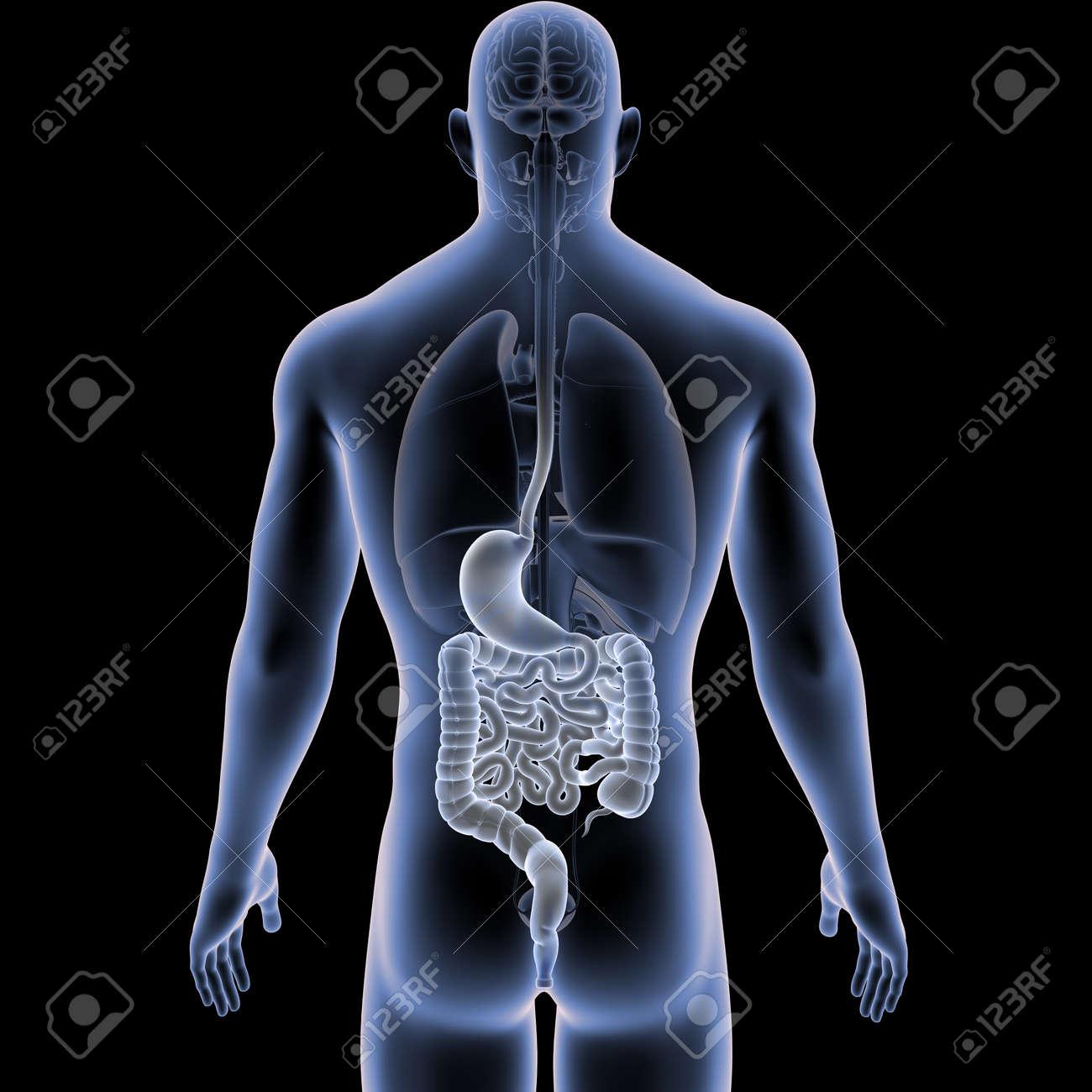 Fantástico Vista De órganos Humanos Friso - Imágenes de Anatomía ...