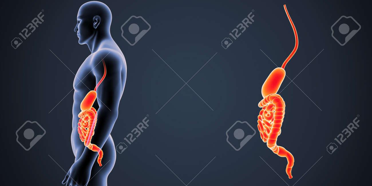 Estómago E Intestino Zoom Con Vista Lateral Del Cuerpo Fotos ...