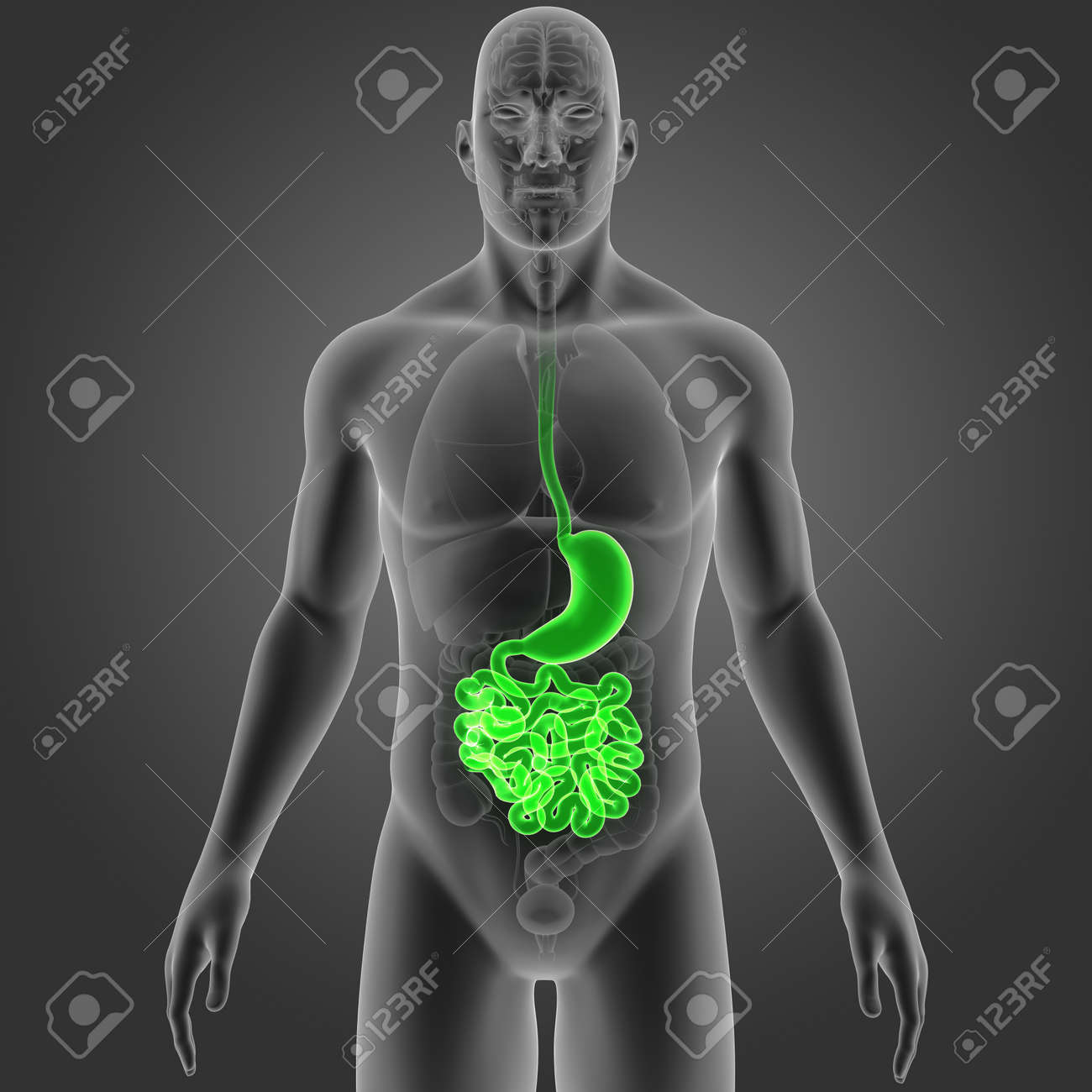 Estómago E Intestino Delgado Con Vista Anterior De Los órganos Fotos ...