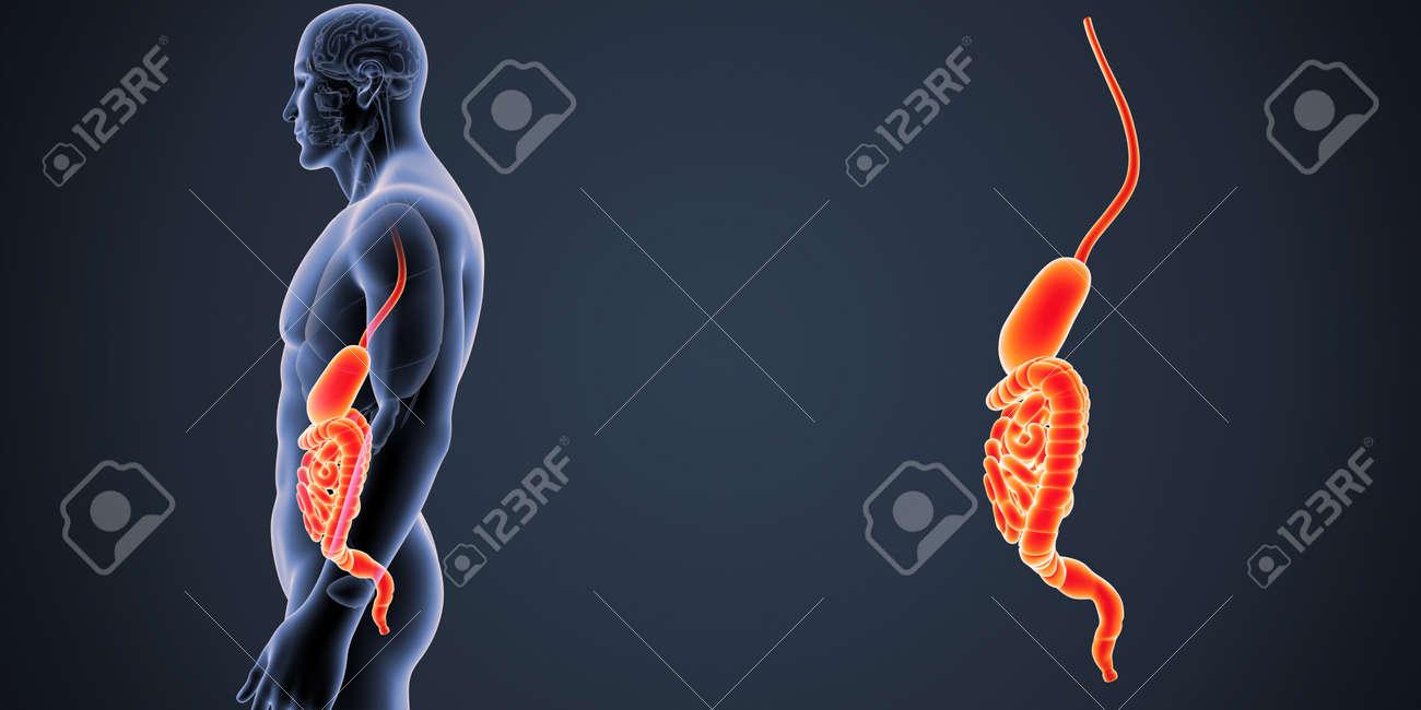 Estómago E Intestino Zoom Con órganos Vista Lateral Fotos, Retratos ...